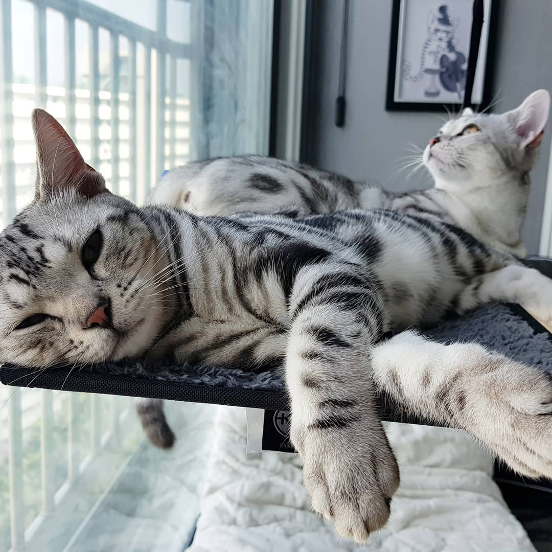 14 Fascinating Facts About The American Shorthair Cat ...