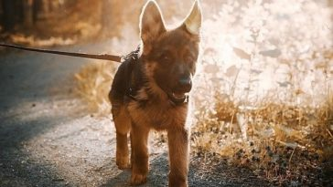 german shepherd walk