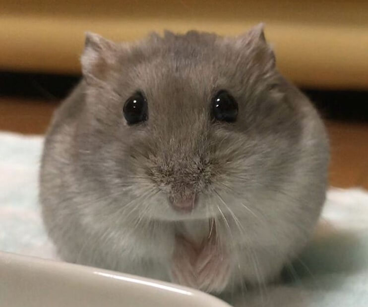 Hamster Names - 500+ Great Ideas For Naming Your Pet Hamster   PetPress
