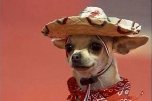 14 Funny Chihuahua Memes That Will Make You Laugh! | Page ...