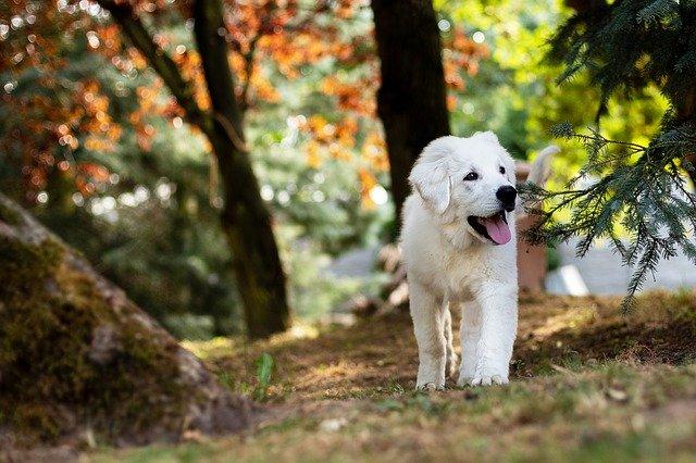 dog-goldenretriever
