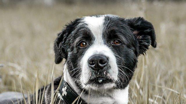 dog-border-collie
