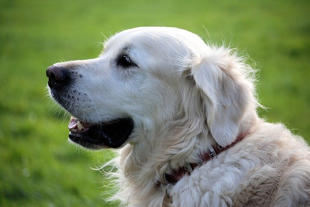 dog-golden-retriever