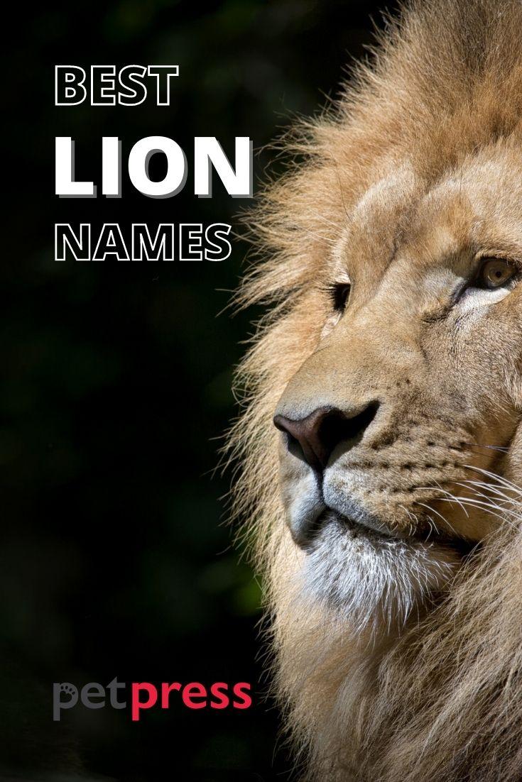 best lion names for naming a lion