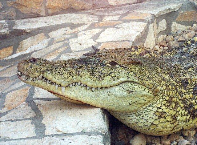 female-crocodile