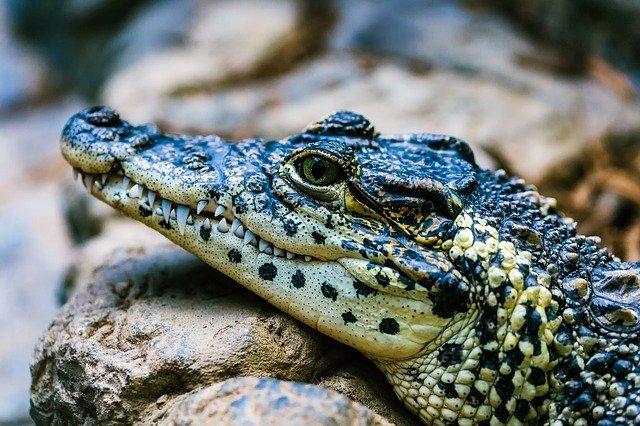 funny-alligator