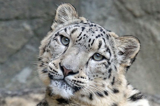 female-leopard