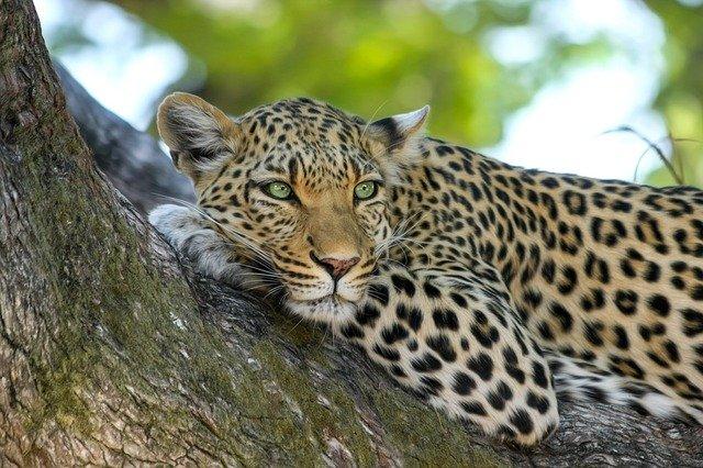 cute-leopard
