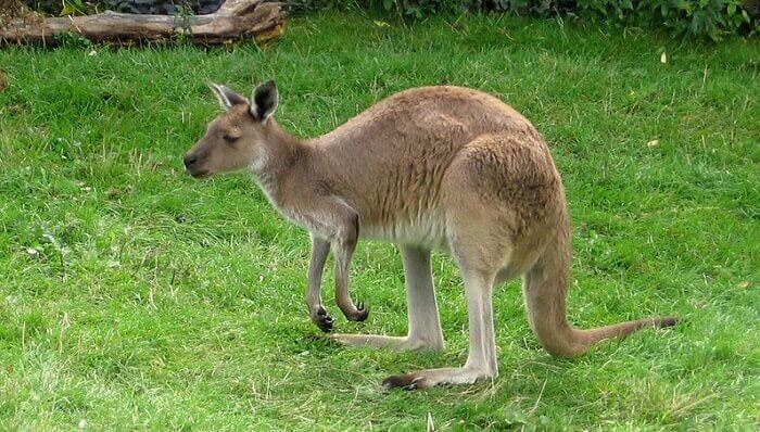 kangaroo names