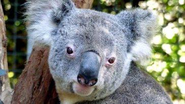 koala names