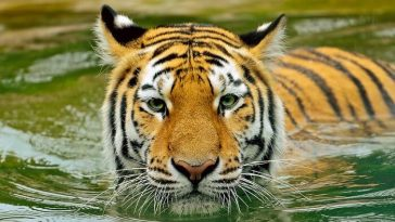 tiger names