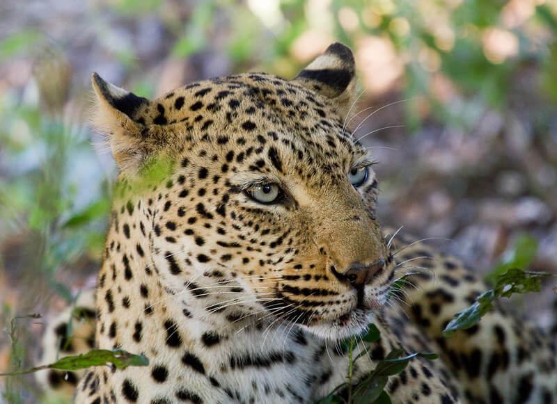leopard names