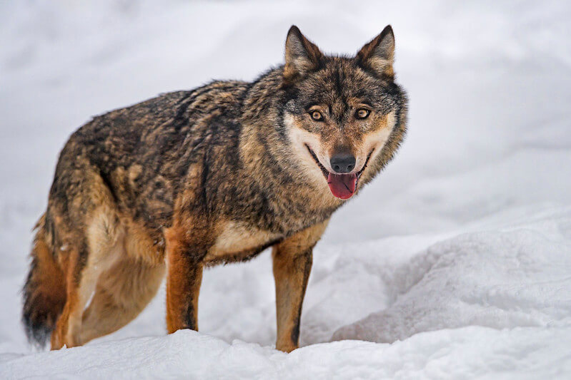 funny wolf names