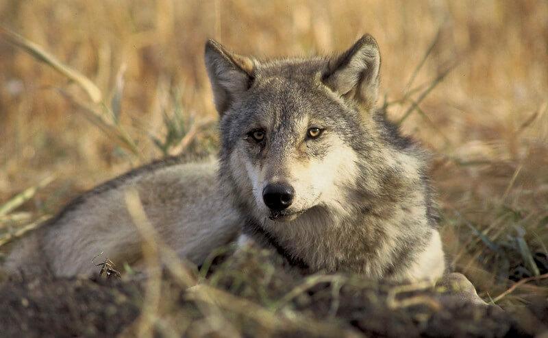 native american wolf names