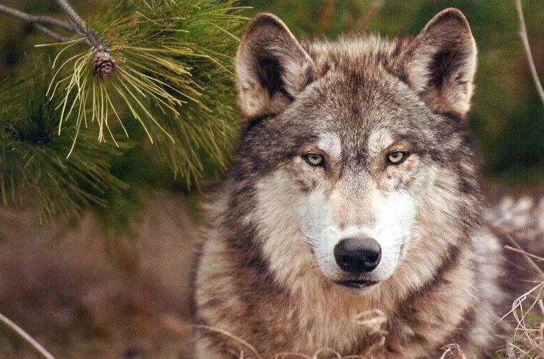 female wolf names