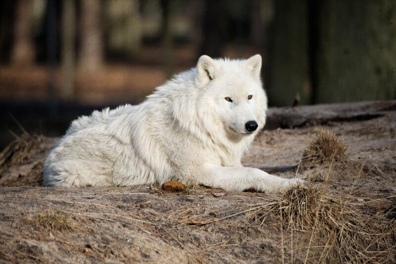 white wolf names for naming a wolf