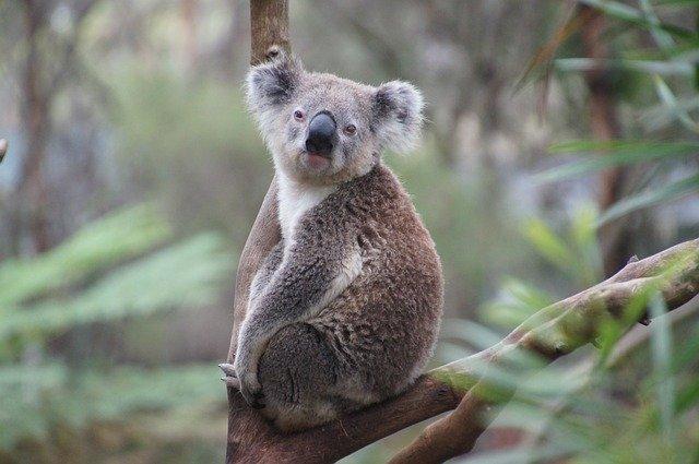 popular-koala
