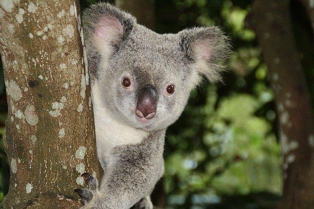 funny-koala