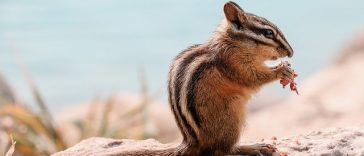 boy chipmunk names