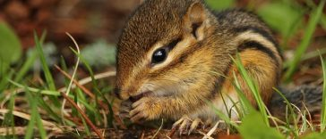 baby-chipmunk-names