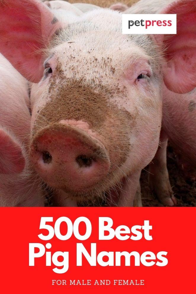 pig names for naming a pet pig