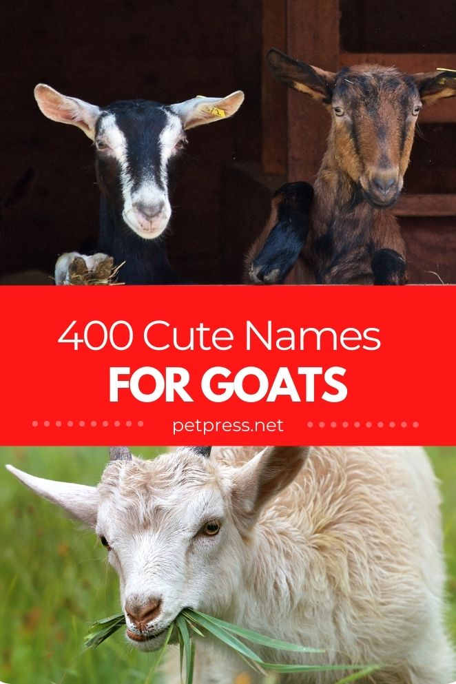 Cute Goat Names for a goat
