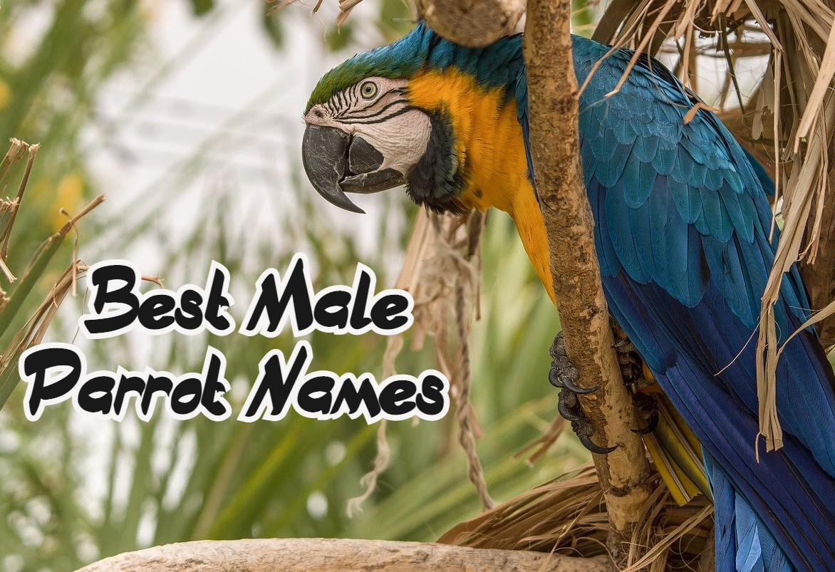 male-parrot-names