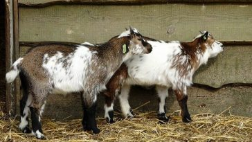 twin goat names for a pair of goats