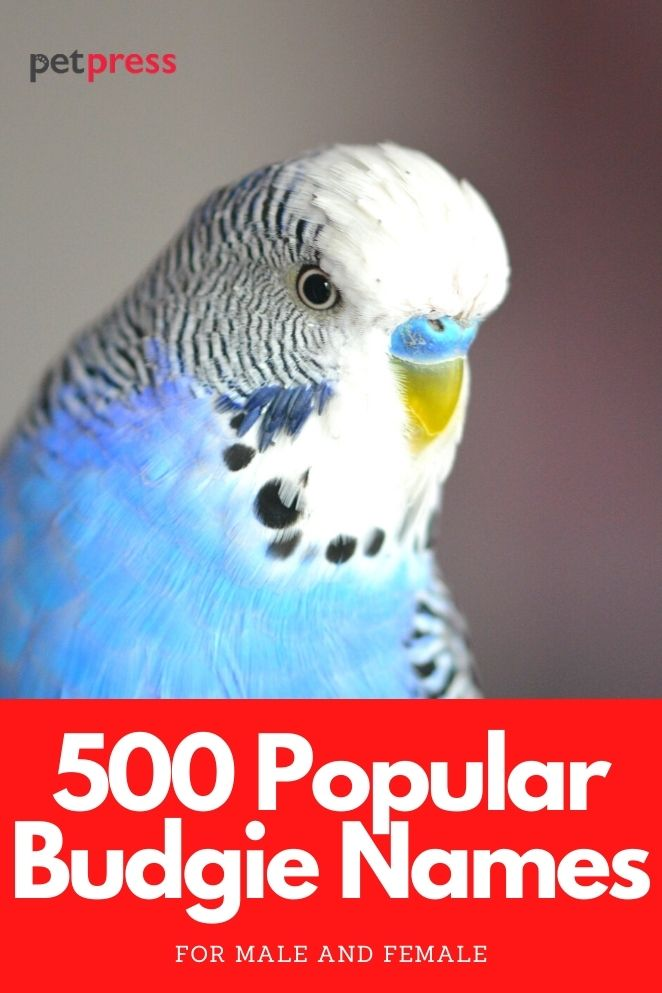 budgie names for naming a budgie parrot