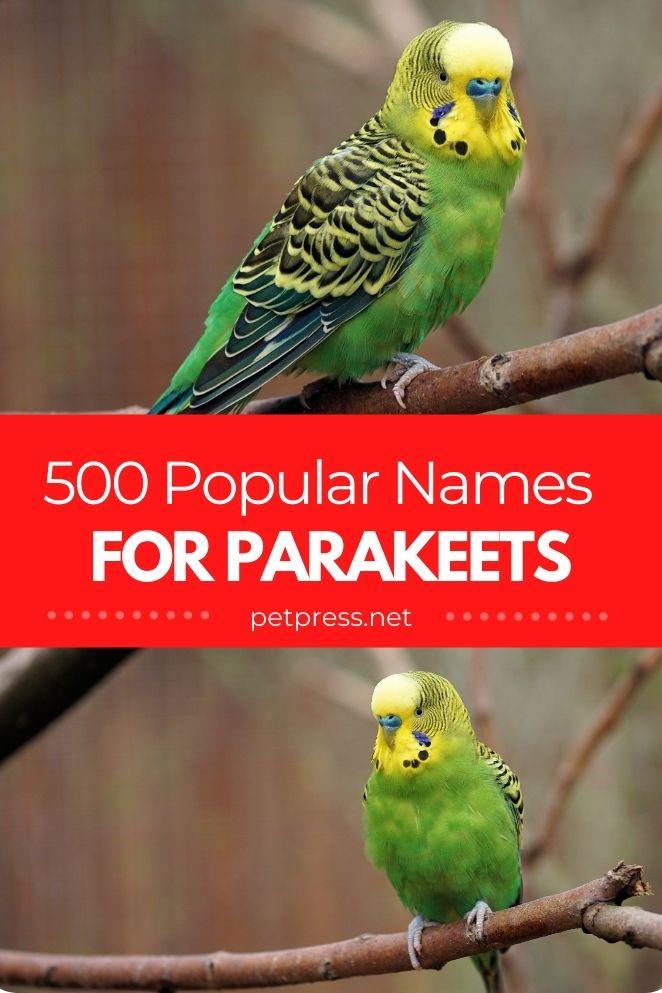 Parakeet names for naming a parakeet parrot