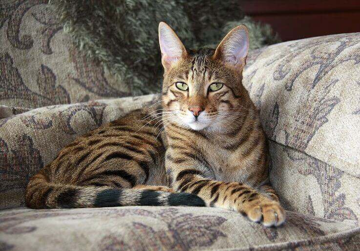 savannah cat names