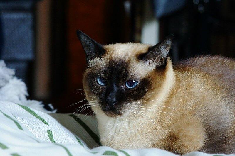 Siamese Cat Names 500 Names For Male Female Siamese Cats