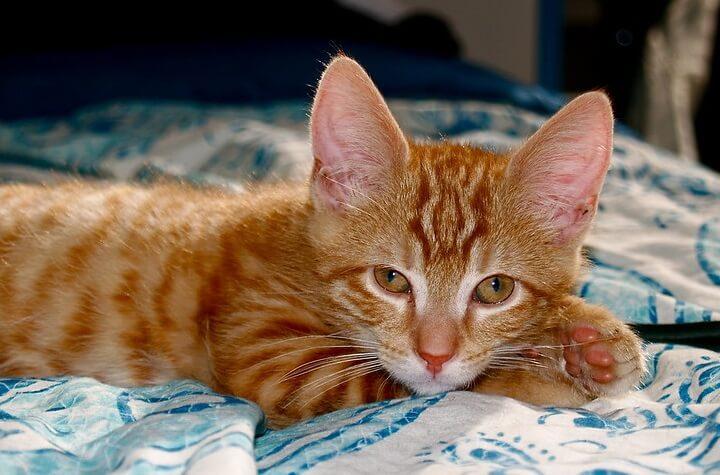 Orange Cat Names 350 Best Names For Ginger Kittens Petpress