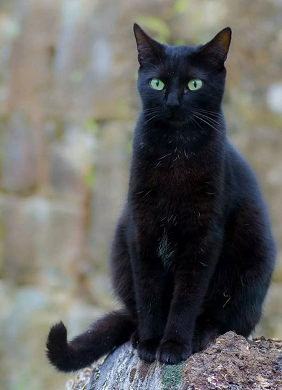 133 Funny Black Cat Names For Boy Cats Petpress