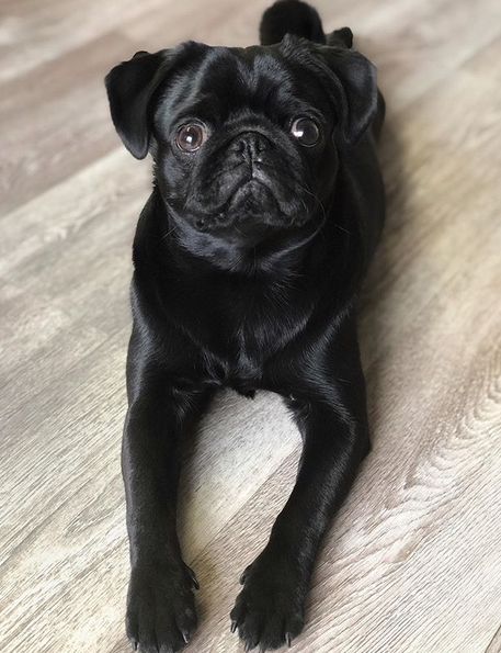 Top 50 Pug Dog Names For Male Dogs