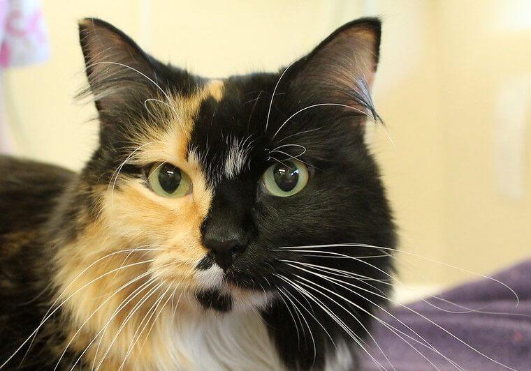 300 Calico Cat Names Cute Unique Names You Ll Love Petpress