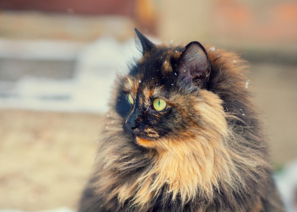 brown-tortoiseshell-cat-names