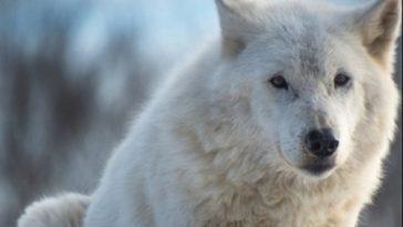 white wolf names