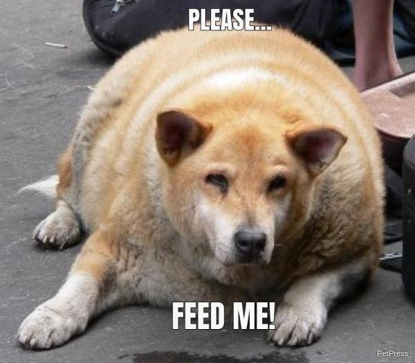 fat dog feed me meme | PetPress