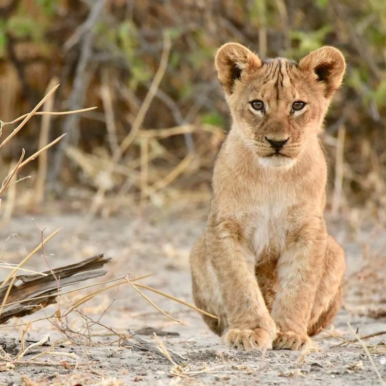 30++ Female lion name generator info
