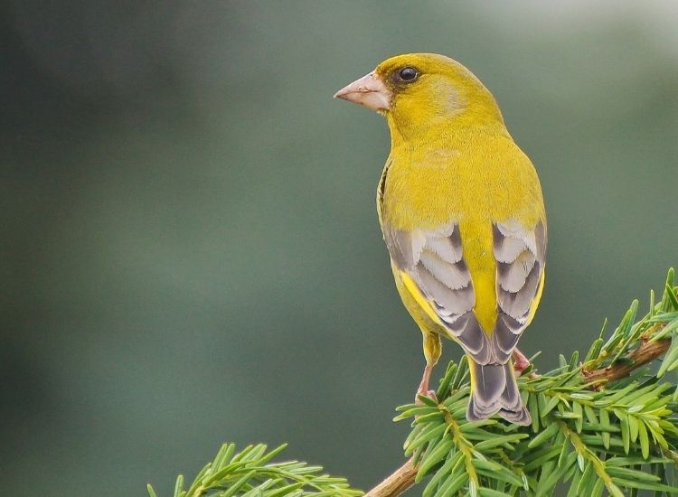 best names for a yellow bird