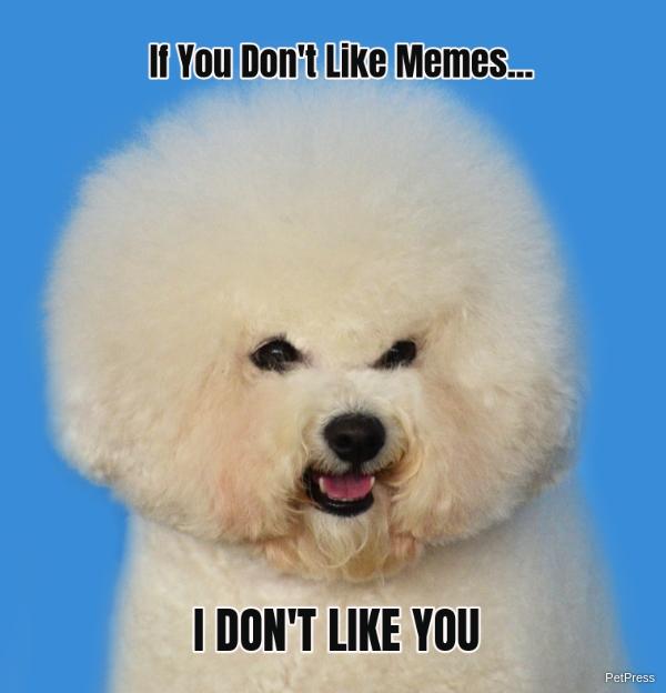 if you don't like memes? bichon frise meme angry