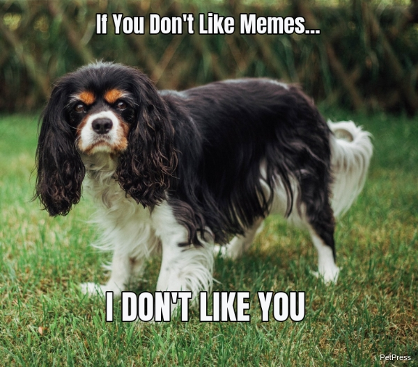 if you don't like memes? cavalier king meme angry