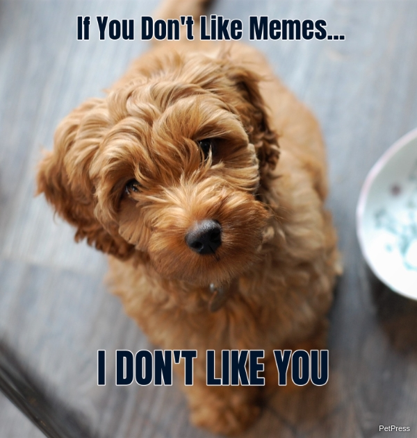 if you don't like memes? labradoodle meme angry