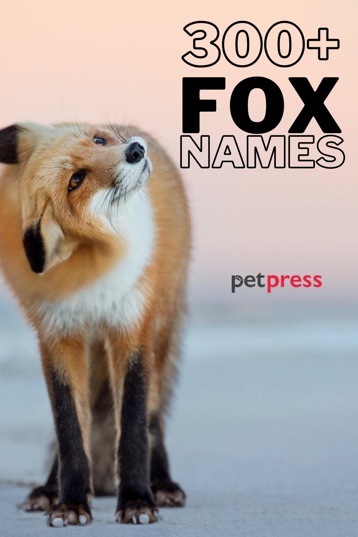 300 Fox Names Cute Funny Cool Names For A Pet Fox