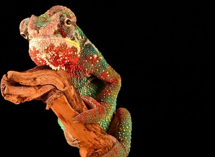 cool and funny chameleon names