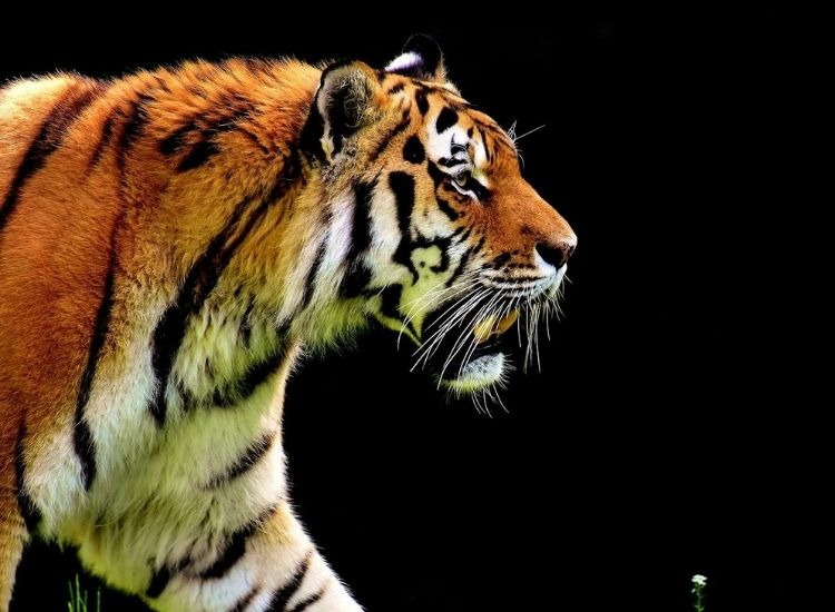 list of the best tiger names
