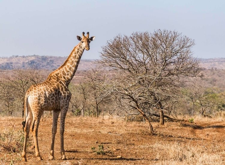cute, famous, and baby giraffe names
