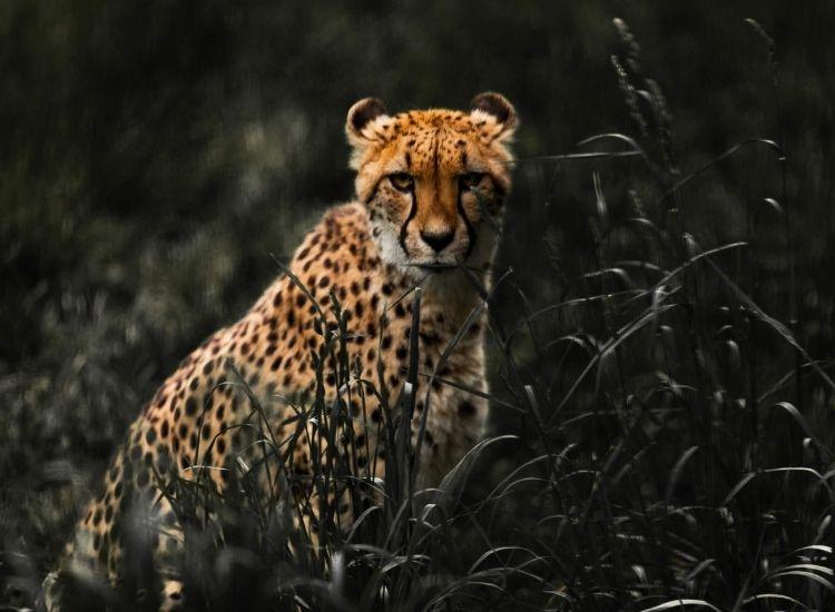best cheetah names