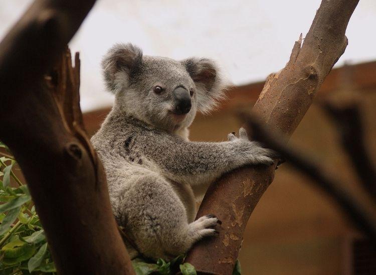 best koala names
